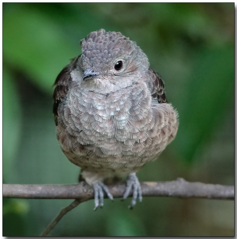 Spangled Cotinga - Female