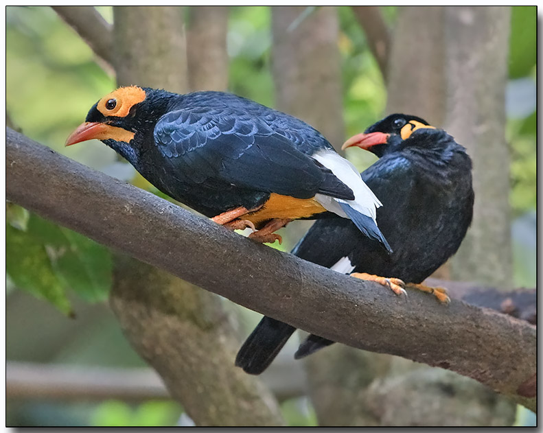 Yellow-faced Myna and Hill Myna