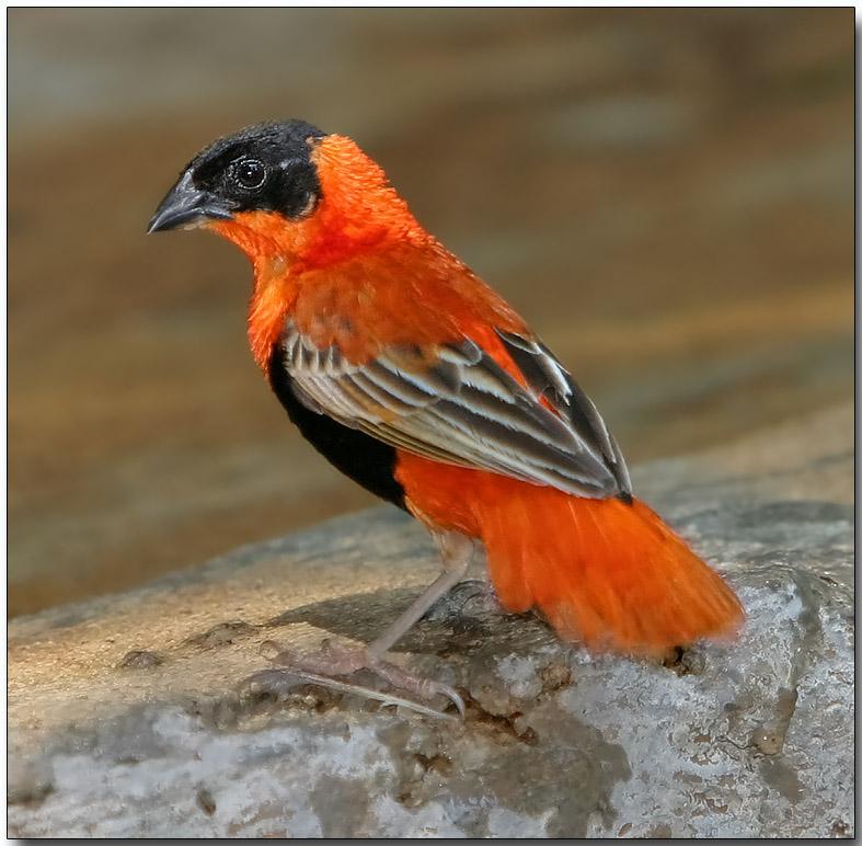 Black-winged Bishop - male