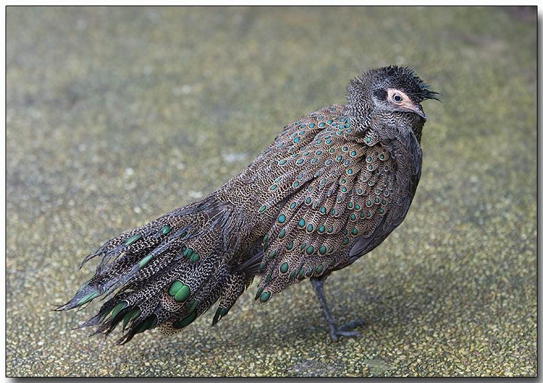 Malayan Peacock-pheasant - male