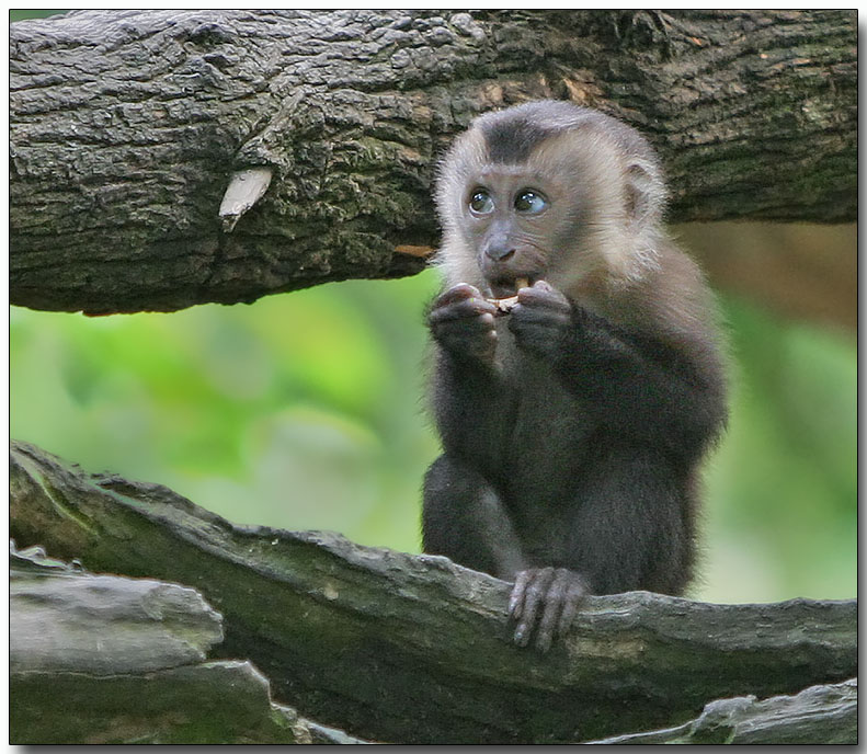 Baby Lion-tailed Macaque