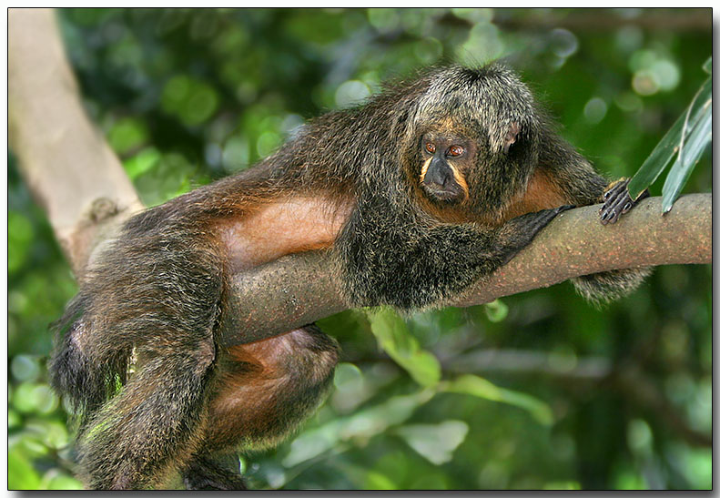 White-faced Saki - female