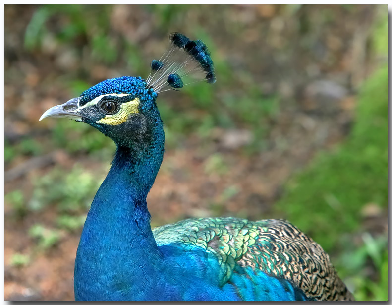 Indian Peafowl - male Peacock