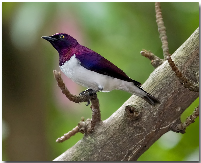 Violet-backed Starling - male