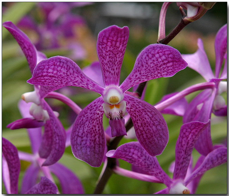 Orchid 43