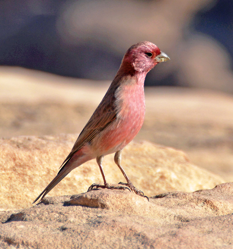 Sinai Rosefinch in Petra.jpg
