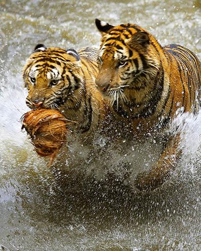 Tiger0192-20095.jpg