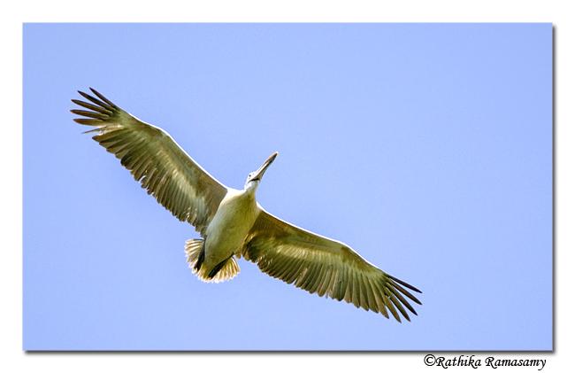 Spotbill Pelican-9570