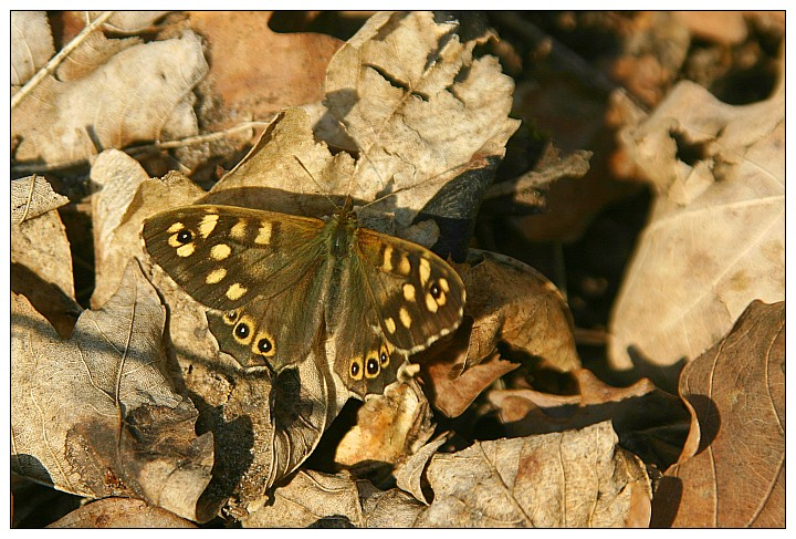 Speckled Wood - Waldbrettspiel
