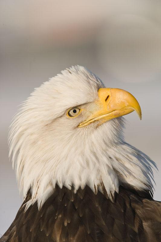 Homer-Eagles020709086.jpg