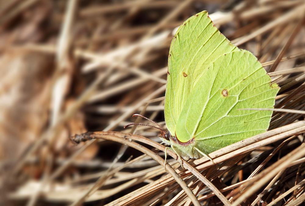 Gonepteryx rhamni - citronèek (IMG_3770m.jpg)