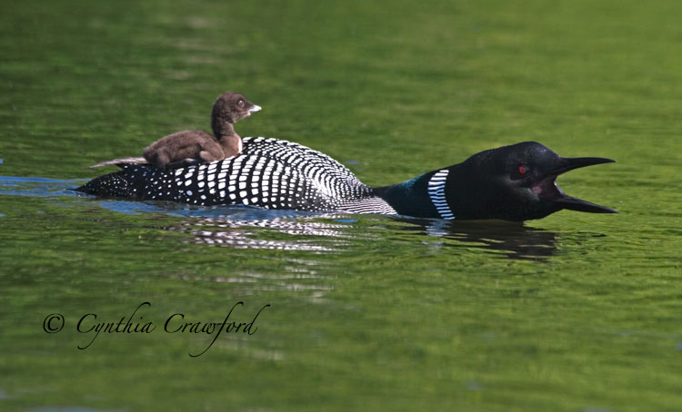 loon+ chick- Eagle alert