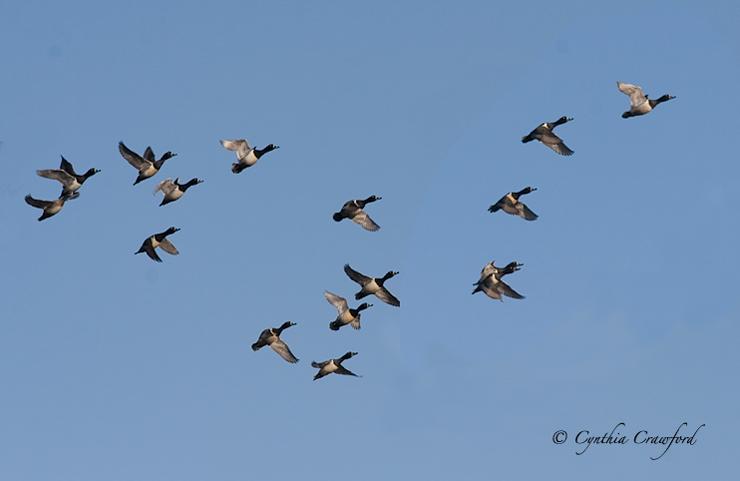 ring-necked.ducks.flying