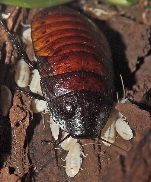 Hissing Cockroaches just born