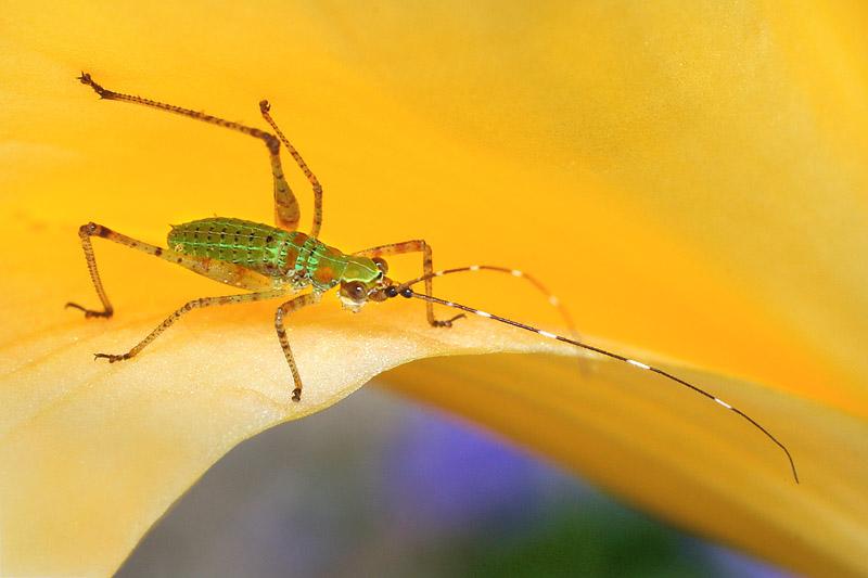 Scudders Bush Katydid (Scudderia) nymph