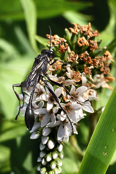 Wasp on Loosestrife
