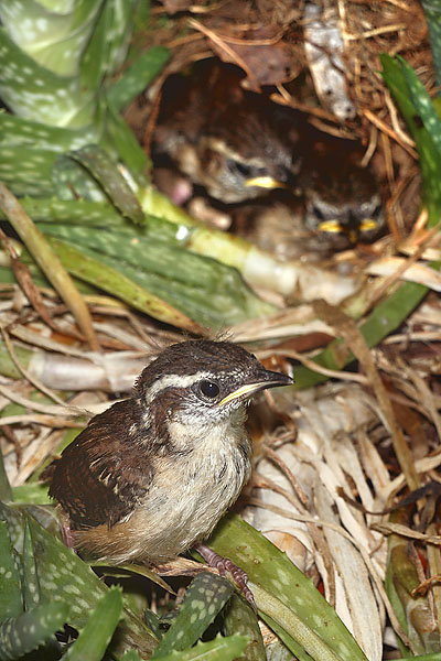 Wrens - day 12