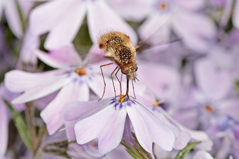 Beefly on Phlox