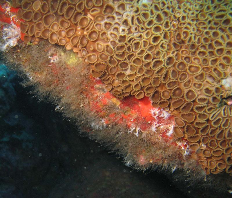 Corais da Laje 1