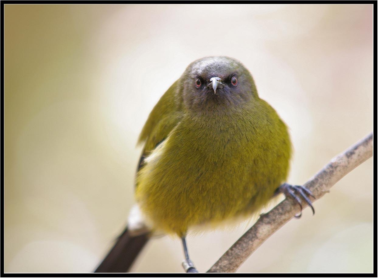 Bellbird,4 (Korimako) (Anthornis melanura melanura)