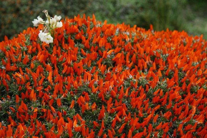 Neneo buske, med röda vackra blommor
