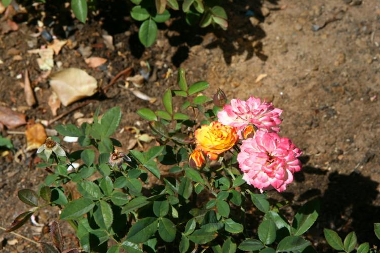 Här växer också vackra rosor