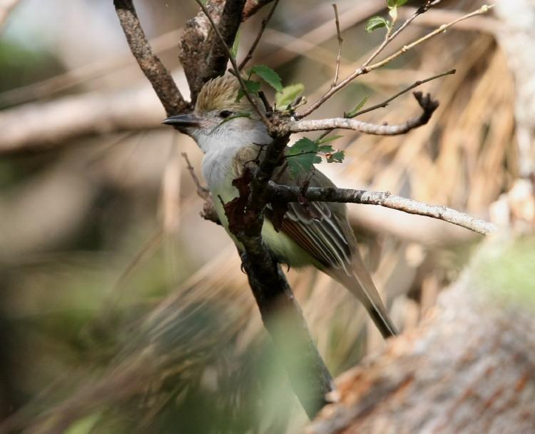 Nuttings Flycatcher