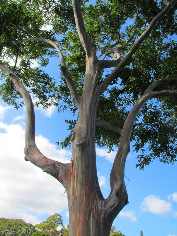 Dole Plantation Tree