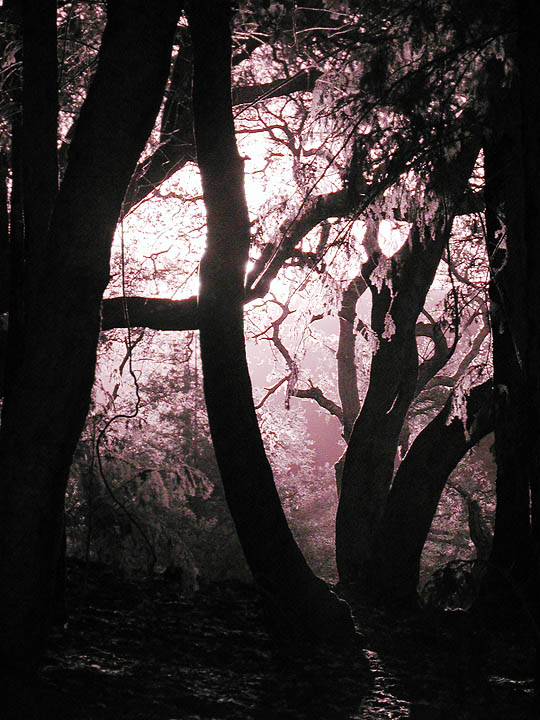 Morning sun and trees (infrared)