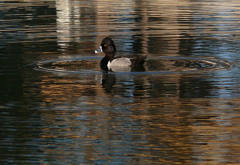 Ducks make circles