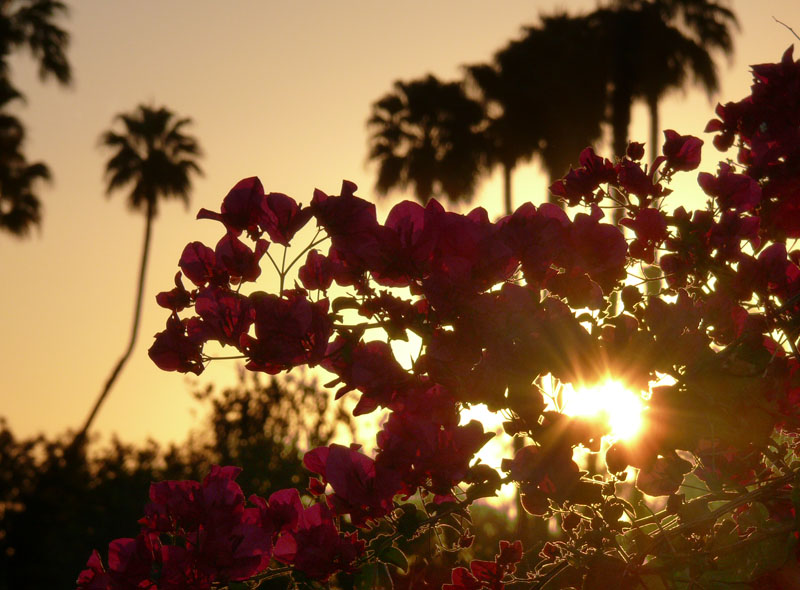 Sunrise, bouganvilleas, palms
