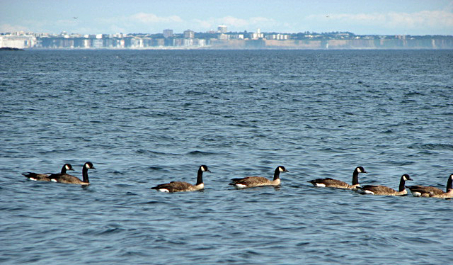 CANADIAN GEESE WITH MIRAGE OF THE CITY