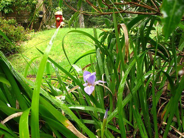 Rock iris