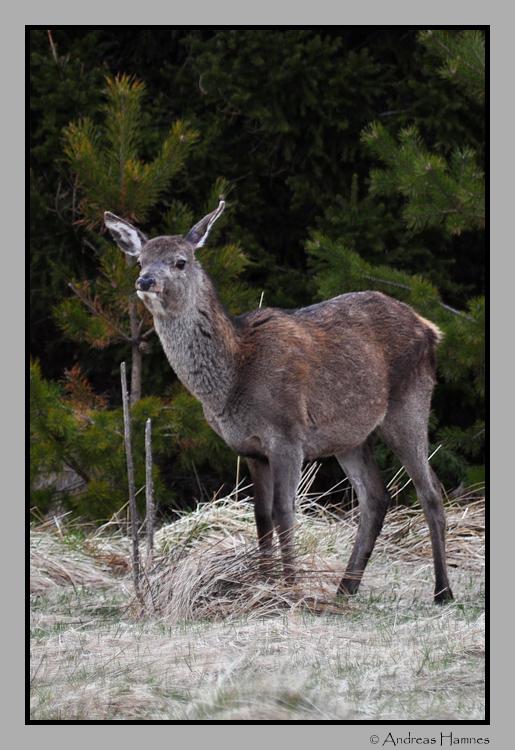 young deer; spring 2012