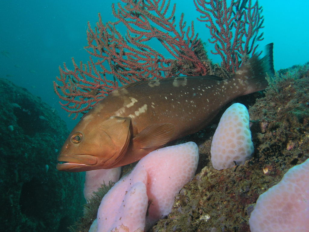 Red Grouper on Reef Ball