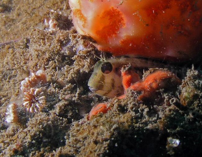 RB Seaweed Blenny.jpg