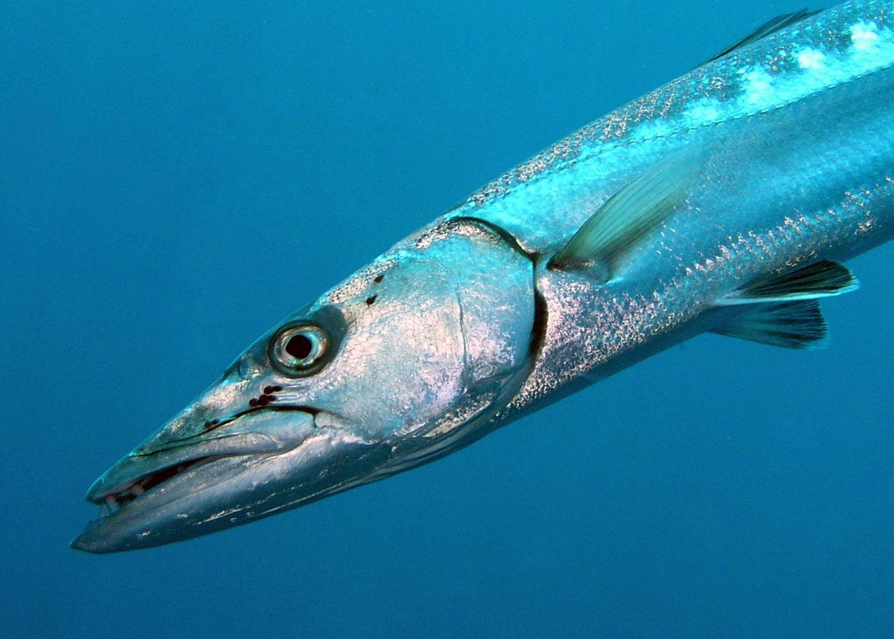 Barracuda--he has freckles just like me