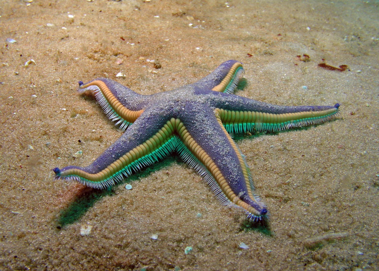Beaded Sea Star