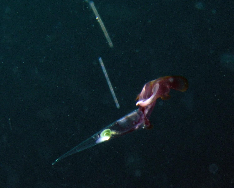 Pelagic Mollusk - Needle Pteropod - Creseis acicula