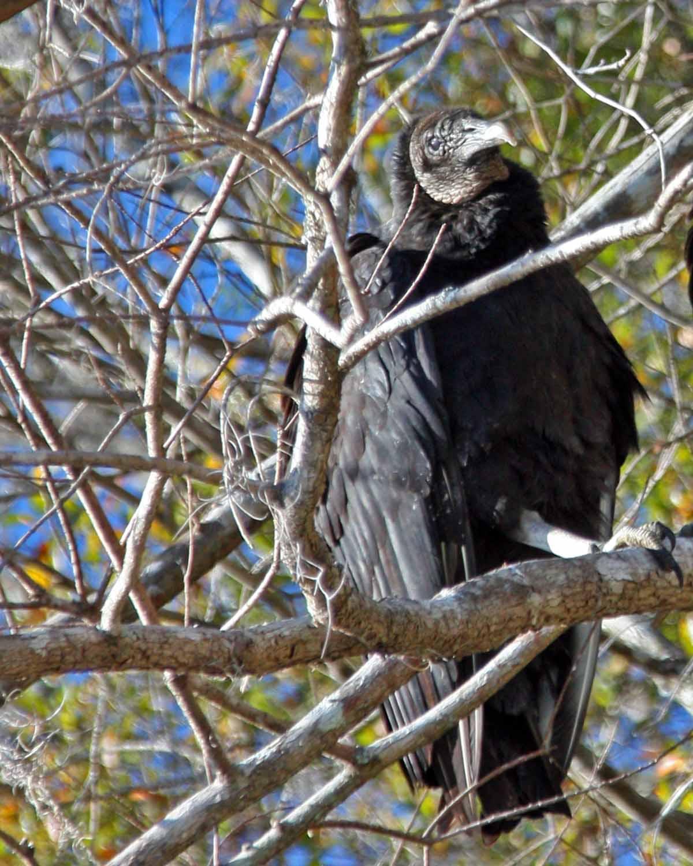 IMG_4210 vulture.jpg