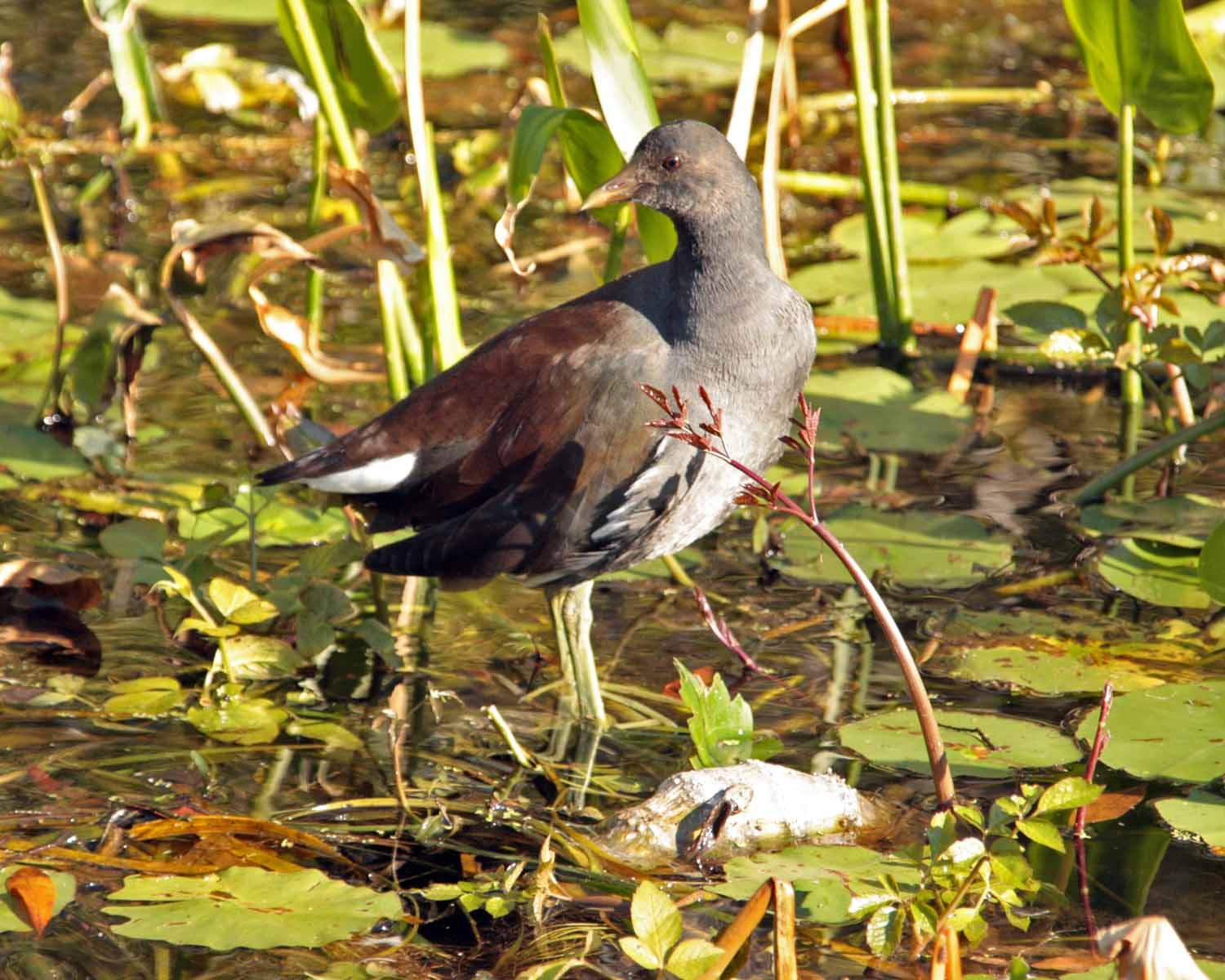 IMG_4391 common moorhen.jpg