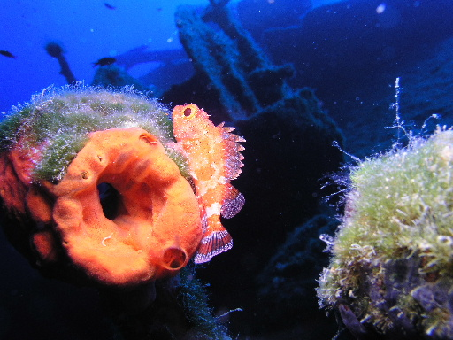 Scorpionfish on the Kas Canyon Wreck.