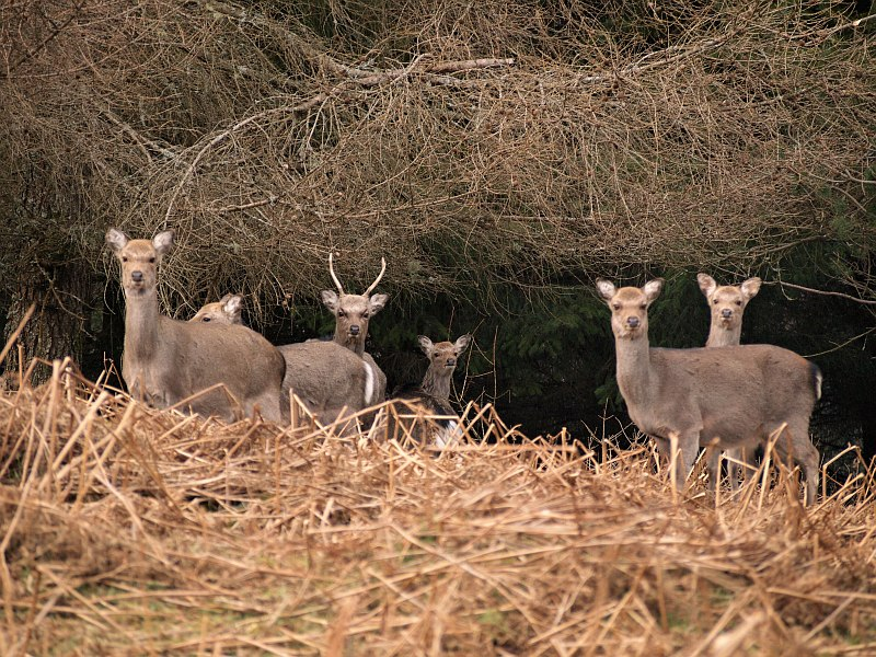 Deer on Camaderry Mountain