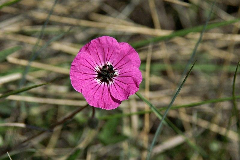 Wild flower, Galičica