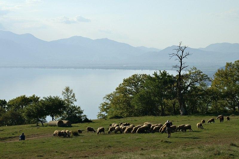 Sheep near Šiponko