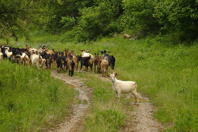 Goats in the Pelister foothills