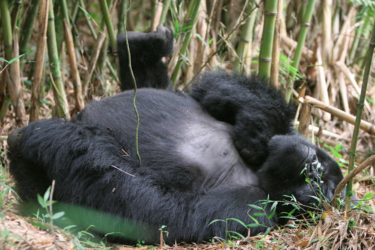 Very relaxed silverback  - you cant manuever much so I couldnt get shot without the brush in front of his face.
