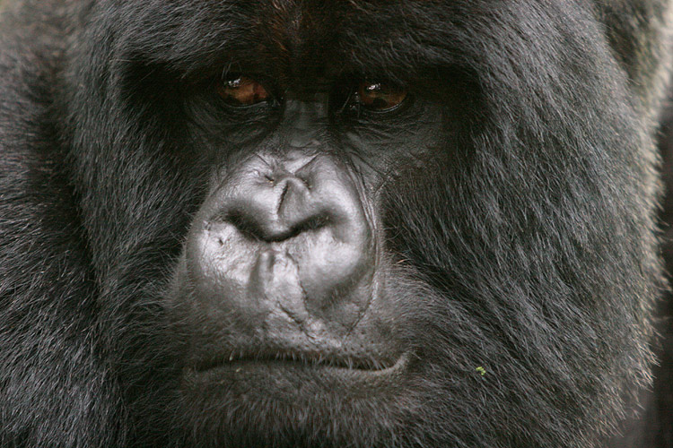 Gorillas can be identified by their unique nose prints, and like human fingerprints, no two gorilla noses have the same print.