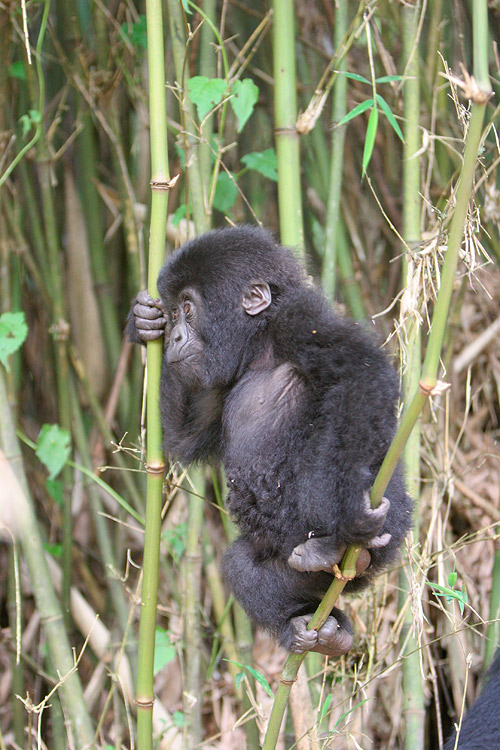 Very active baby gorilla