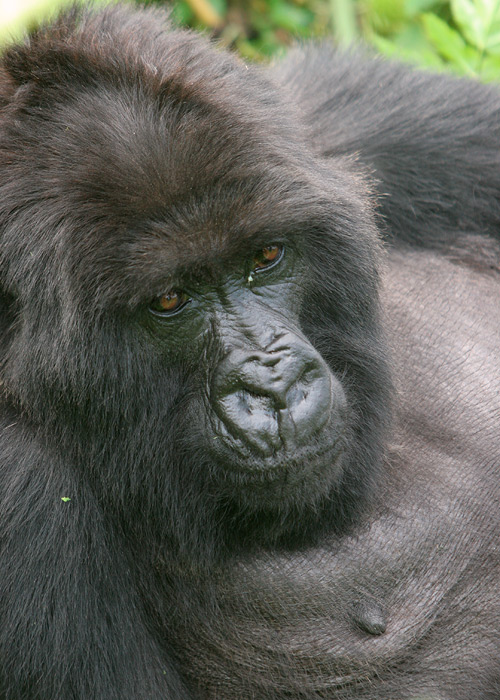 Silverback at rest.